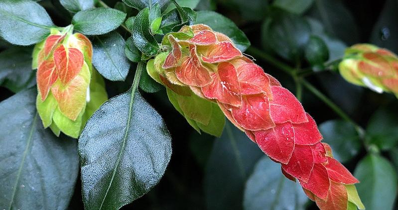 Plante crevette (Beloperoneguttata)