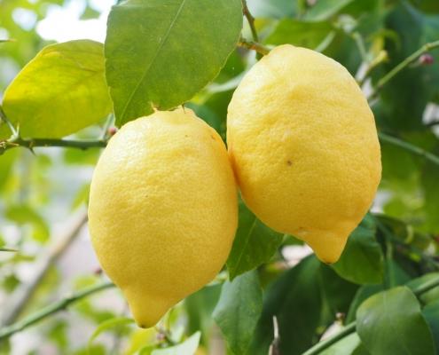 comment greffer un citronnier